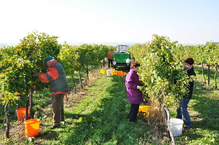 2013 Weinlese Weinbau Schabel