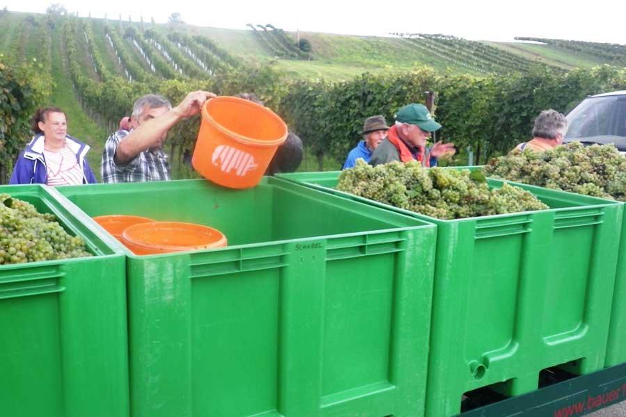2014 Weinlese Weinbau Schabel