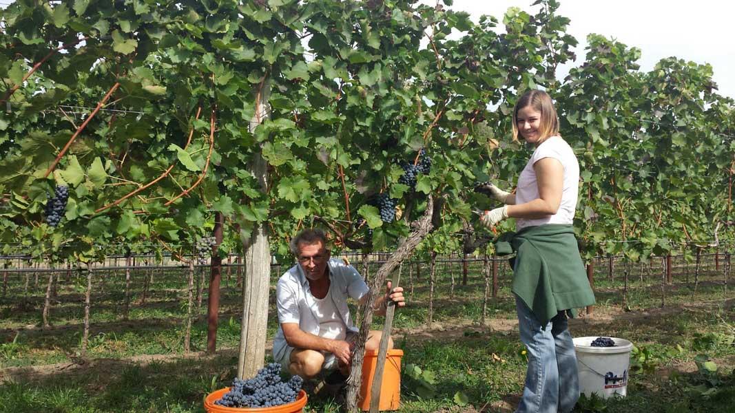 2015 Weinlese Weinbau Schabel